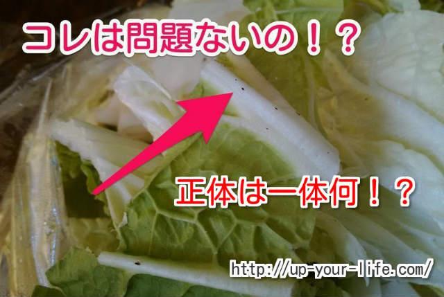 白菜の黒い斑点って食べれるの!?安全性は大丈夫!?